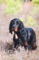 Setter Gordon LITTLE GIRL DU BUISSON AU CERF